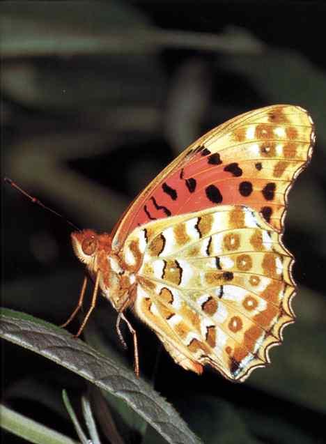 Крылья бабочки член