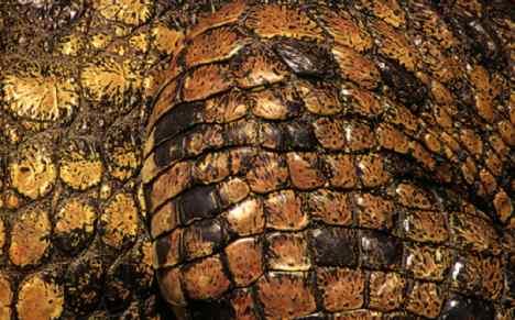 В изготовлении портфелей и сумок применяют кожу крокодила с большими...